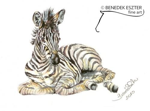 Zebra csikó